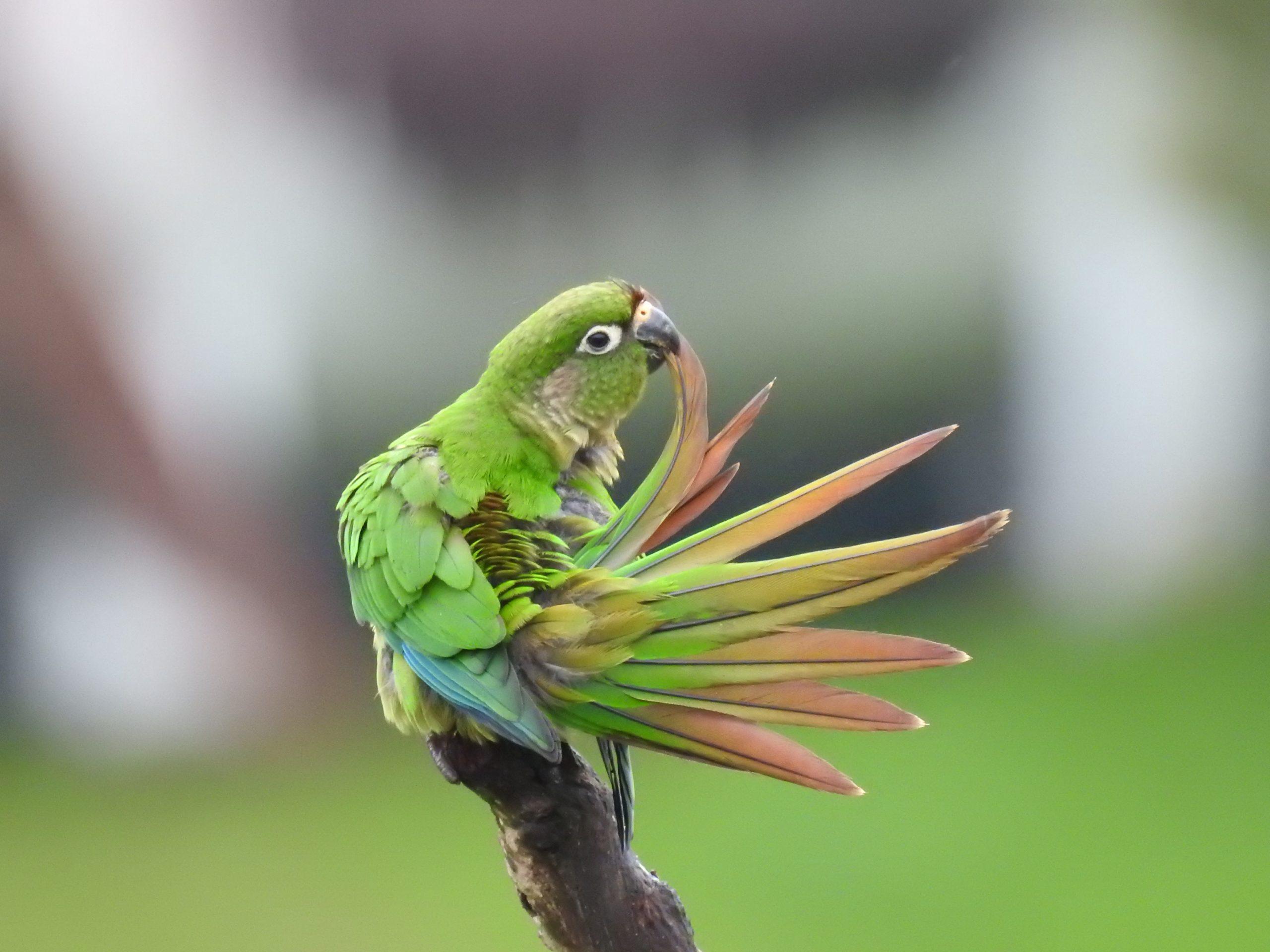 A imagem mostra uma ave, tiriba-de-testa-vermelha, com o bico em suas penas.